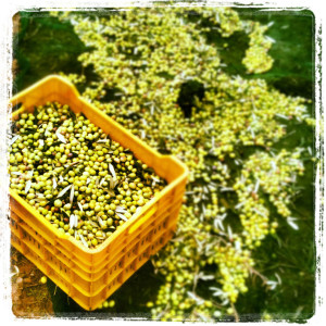 Yeşil zeytinler, kırma zeytin olacak.